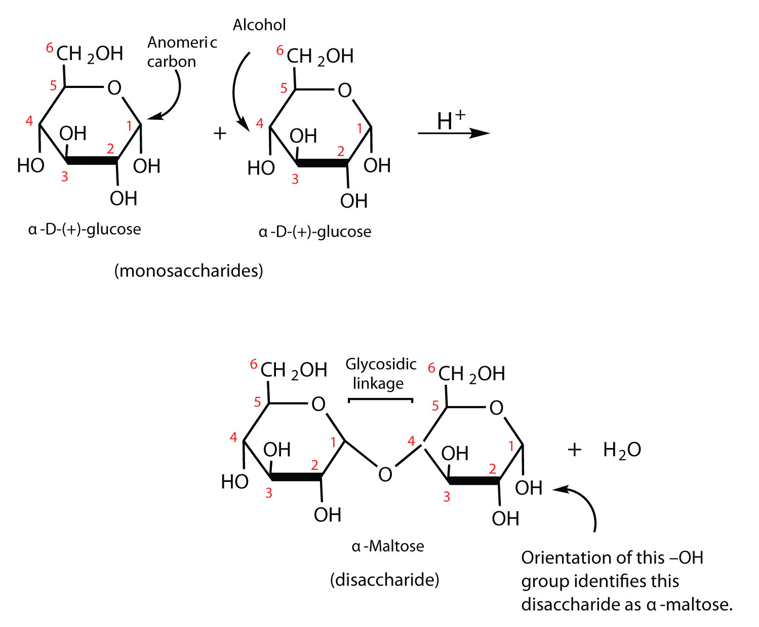 wht are the major monosaccharide found in the body What is the major monosaccharide found in the body - 5927470.