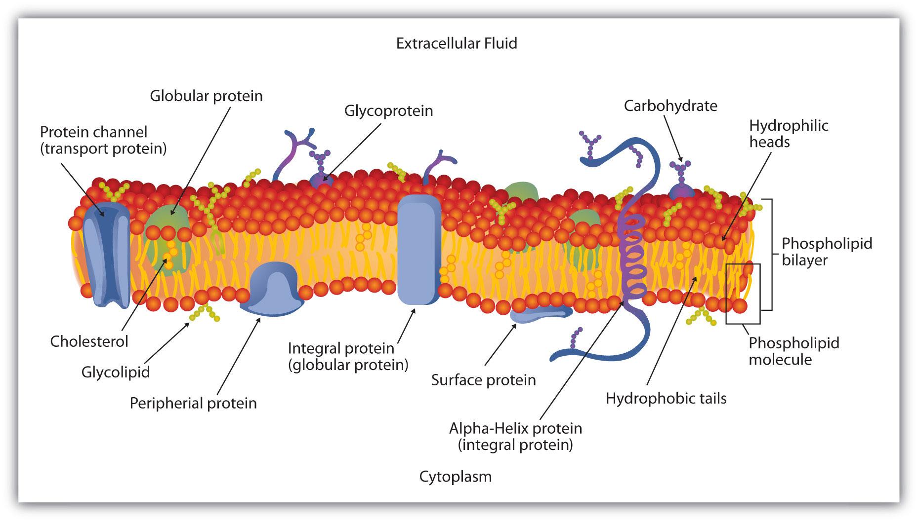membranes and membrane lipids : lipid bilayer diagram - findchart.co