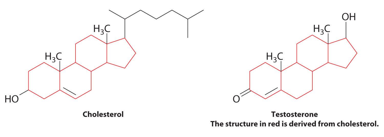 testosterone biosynthesis