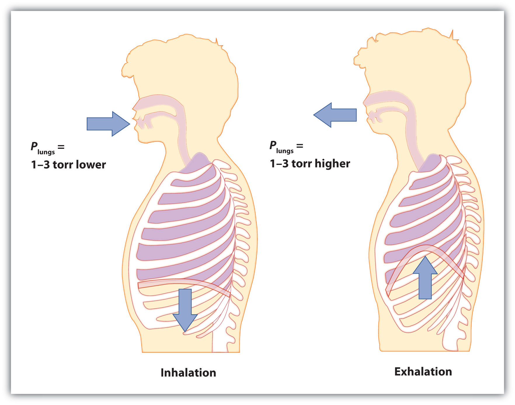 Diagram of inhalation and exhalation
