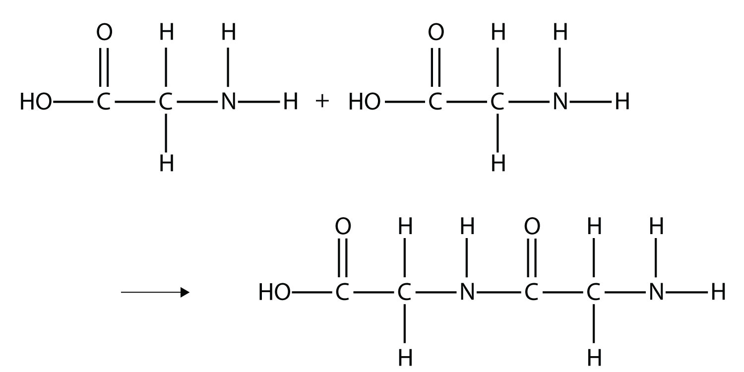 Proteins are examples of polymers formed when hundred or thousands of amino acids form amide bonds.
