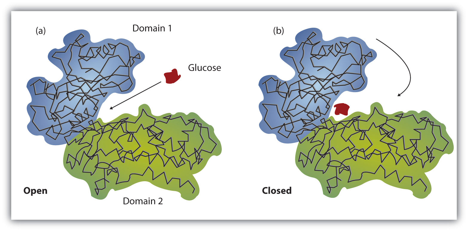 Enzyme action a the enzyme hexokinase without its substrate glucose shown in red is bound to the active site b the enzyme conformation changes dramatically when ccuart Image collections